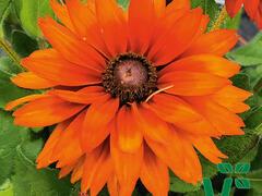 Třapatka 'Summerdaisy's Double Choco' - Rudbeckia hybrida 'Summerdaisy's Double Choco'