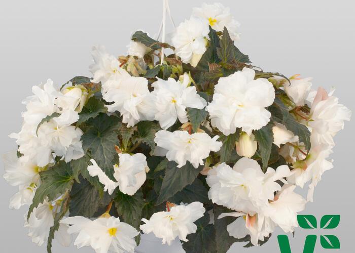 Begónie hlíznatá 'Nonstop Joy Moca White' - Begonia tuberhybrida 'Nonstop Joy Moca White'