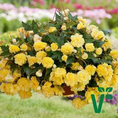 Begónie hlíznatá 'Belina Yellow' - Begonia tuberhybrida 'Belina Yellow'