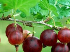 Angrešt červený 'Karát' - Grossularia uva crispa 'Karát'