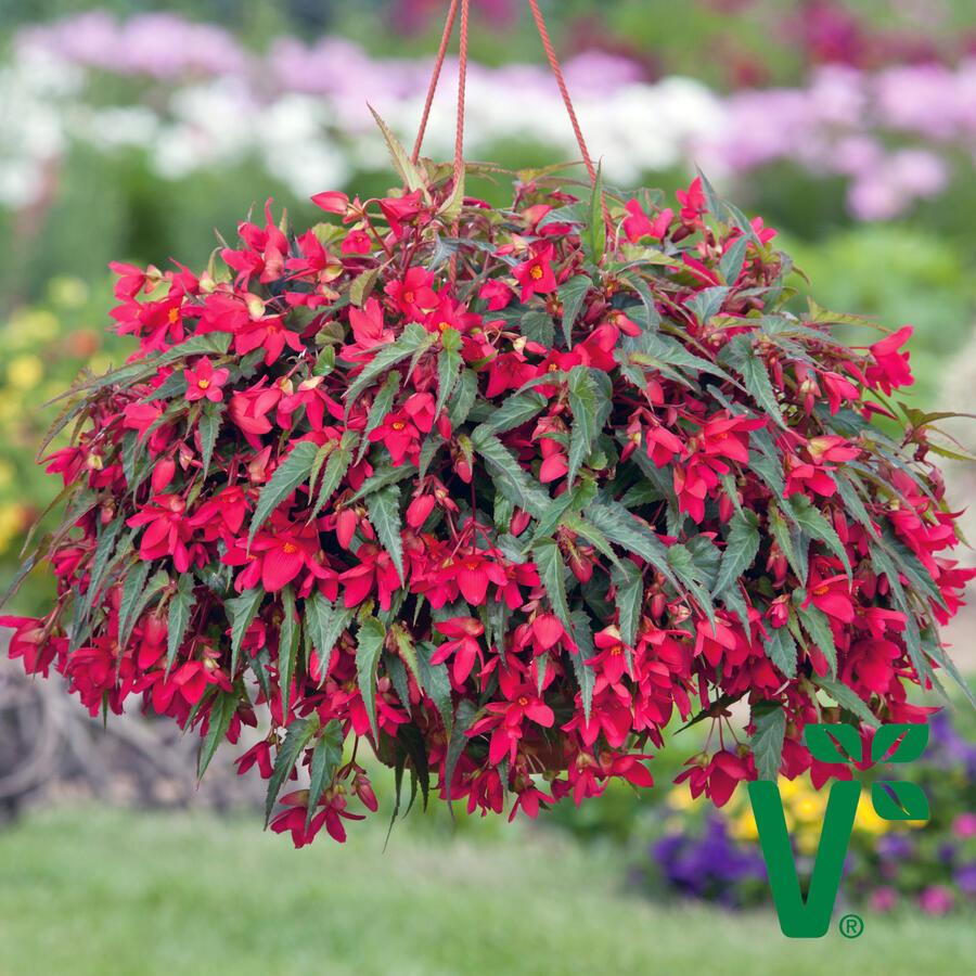 Begónie bolívijská 'Bellavista Rose' - Begonia boliviensis 'Bellavista Rose'
