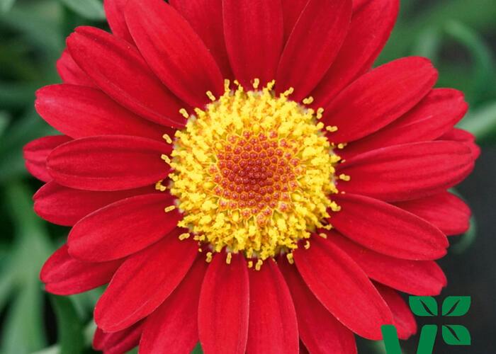 Kopretina pařížská 'Aramis Wine Red' - Argyranthemum frutescens 'Aramis Wine Red'