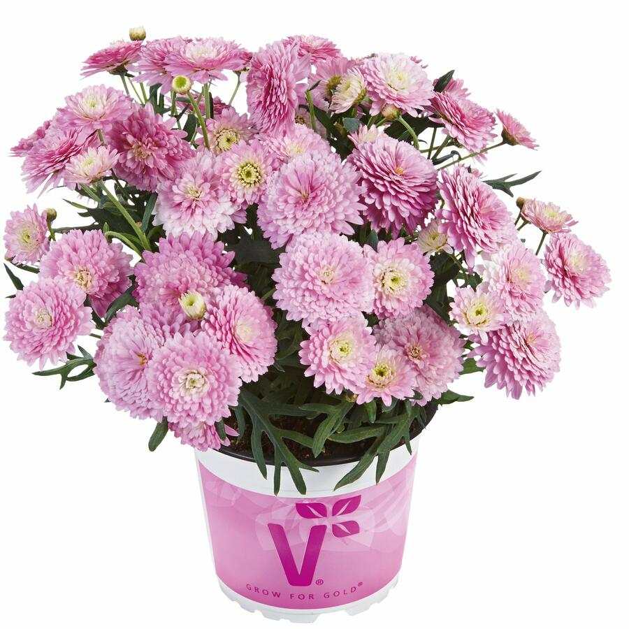 Kopretina pařížská 'Aramis Double Pink' - Argyranthemum frutescens 'Aramis Double Pink'