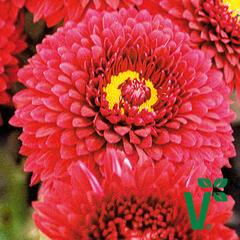 Listopadka indická  'Smokey Purple' - Dendranthema indicum 'Smokey Purple'
