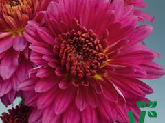 Listopadka indická  'Payton Dale Purple' - Dendranthema indicum 'Payton Dale Purple'