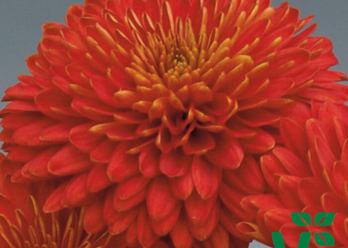 Listopadka indická 'Majola' - Dendranthema indicum 'Majola'