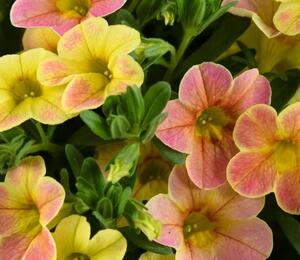 Minipetunie, Million Bells 'Ombre Yellow' - Calibrachoa hybrida 'Ombre Yellow'