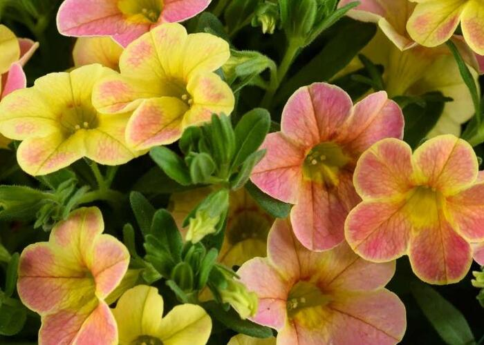 Minipetunie, Million Bells 'Ombre Yellow' - Calibrachoa hybrida 'Ombre Yellow'