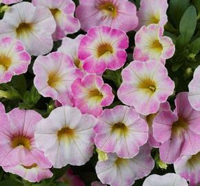 Minipetunie, Million Bells 'Ombre Blush' - Calibrachoa hybrida 'Ombre Blush'