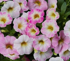 Minipetunie, Million Bells 'Ombre Blush' - Calibrachoa hybrida 'Ombre Blush'
