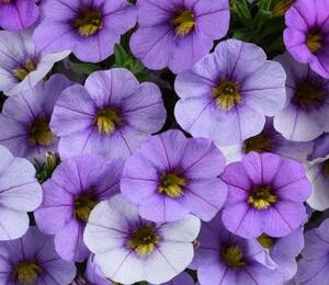 Minipetunie, Million Bells 'Ombre Blue' - Calibrachoa hybrida 'Ombre Blue'