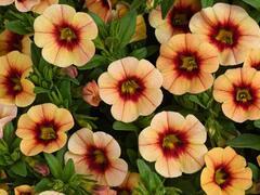 Minipetunie, Million Bells 'Eyeconic Sunset' - Calibrachoa hybrida 'Eyeconic Sunset'
