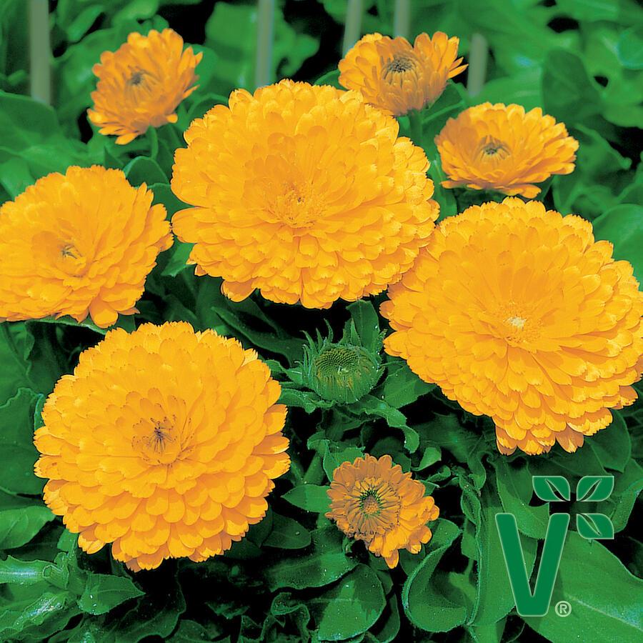 Měsíček lékařský 'Yellow with Black Eye' - Calendula officinalis 'Yellow with Black Eye'