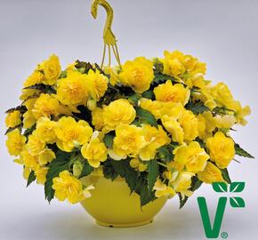 Begónie hlíznatá 'Nonstop Joy Yellow' - Begonia tuberhybrida 'Nonstop Joy Yellow'