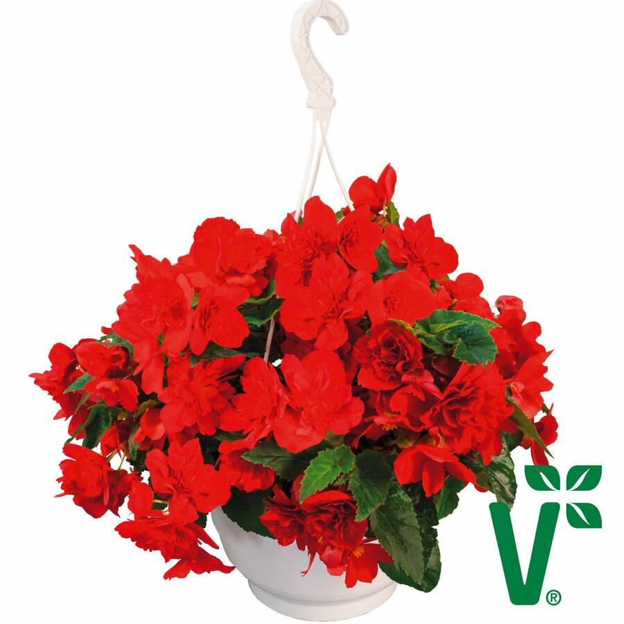 Begónie hlíznatá 'Nonstop Joy Red' - Begonia tuberhybrida 'Nonstop Joy Red'