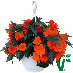 Begónie hlíznatá 'Nonstop Joy Orange' - Begonia tuberhybrida 'Nonstop Joy Orange'