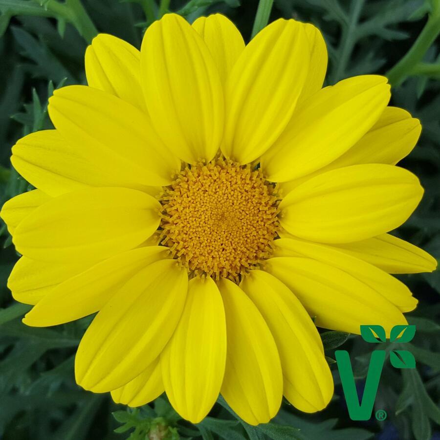 Kopretina pařížská 'Aramis Gold' - Argyranthemum frutescens 'Aramis Gold'