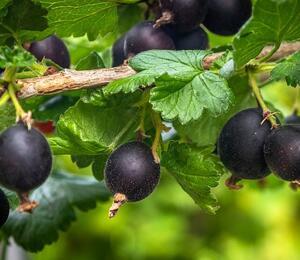 Angrešt černý 'Něguš' - Grossularia uva crispa 'Něguš'