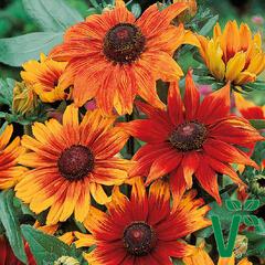 Třapatka srstnatá 'Autumn Colours' - Rudbeckia hirta 'Autumn Colours'