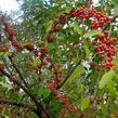 Hlošina okoličnatá 'Sweetnsour' - Elaeagnus umbellata 'Sweetnsour'
