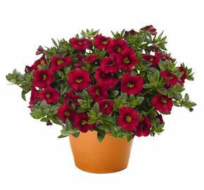 Minipetunie, Million Bells 'Aloha Kona Dark Red' - Calibrachoa hybrida 'Aloha Kona Dark Red'