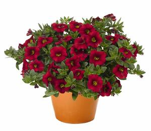 Minipetunie, Million Bells 'Aloha Kona Dark Red' - Calibrachoa hybrida 'Aloha Kona Dark Red'