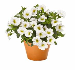 Minipetunie, Million Bells 'Aloha Classic White' - Calibrachoa hybrida 'Aloha Classic White'