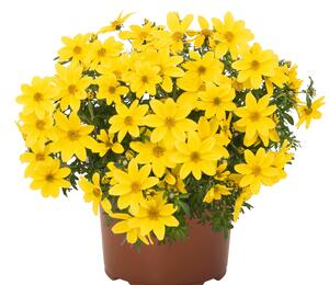 Dvouzubec 'Bidy Boom Yellow Big' - Bidens 'Bidy Boom Yellow Big'