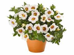Minipetunie, Million Bells 'Aloha Kona Tiky White' - Calibrachoa hybrida 'Aloha Kona Tiky White'