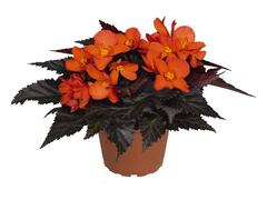 Begónie 'I'conia Upright Fire' - Begonia 'I'conia Upright Fire'