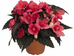 Begónie 'I'conia First Kiss Hot Pink' - Begonia 'I'conia First Kiss Hot Pink'