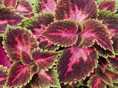 Pokojová kopřiva 'Fifth Avenue' - Coleus blumei 'Fifth Avenue'