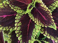 Pokojová kopřiva 'Alligator Alley' - Coleus blumei 'Alligator Alley'