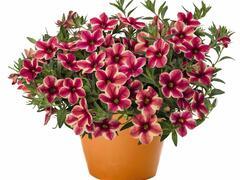 Minipetunie, Million Bells 'Volcano Neon' - Calibrachoa hybrida 'Volcano Neon'