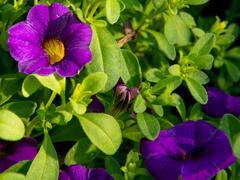 Minipetunie, Million Bells 'Sweetbells Compact Dark Blue' - Calibrachoa hybrida 'Sweetbells Compact Dark Blue'