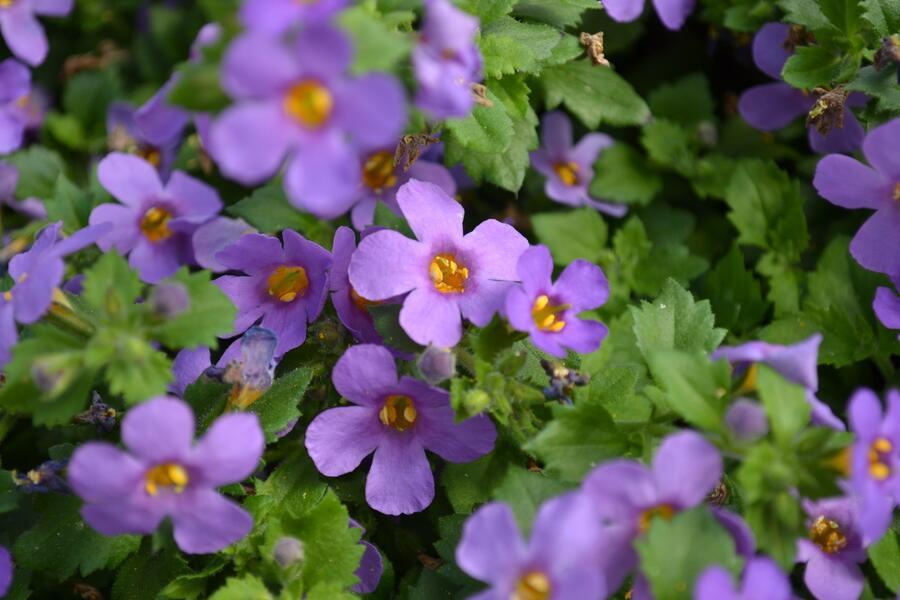 Bakopa 'Bahia Purple Sand' - Sutera diffusus 'Bahia Purple Sand'