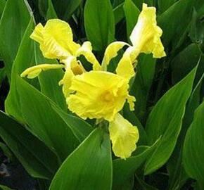 Dosna indická 'Yellow' - Canna indica 'Yellow'