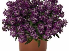 Tařicovka přímořská 'Yolo Purple' - Lobularia maritima 'Yolo Purple'