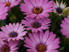Dvoutvárka 'Margarita Dark Pink' - Osteospermum ecklonis 'Margarita Dark Pink'