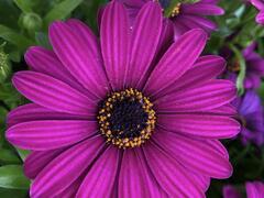 Dvoutvárka 'Margarita Purple' - Osteospermum ecklonis 'Margarita Purple'