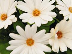 Dvoutvárka 'Margarita Creme' - Osteospermum ecklonis 'Margarita Creme'