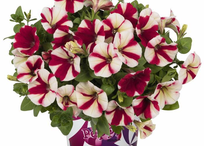 Petúnie 'Peppy Hot Red' - Petunia hybrida 'Peppy Hot Red'