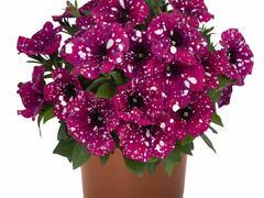 Petúnie 'Surprise Sparkling Magenta' - Petunia hybrida 'Surprise Sparkling Magenta'