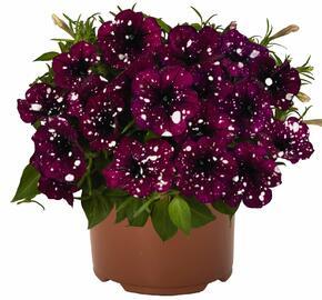 Petúnie 'Surprise Sparkling Burgundy' - Petunia hybrida 'Surprise Sparkling Burgundy'