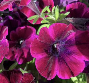 Petúnie 'Sweetunia Johnny Flame' - Petunia hybrida 'Sweetunia Johnny Flame'