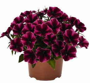 Petúnie 'Sweetunia Miss Fantastic' - Petunia hybrida 'Sweetunia Miss Fantastic'
