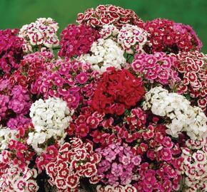 Hvozdík vousatý 'Messenger Mix' - Dianthus barbatus 'Messenger Mix'