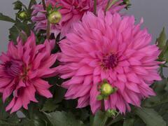 Jiřina XXL 'Pink Lemonade' - Dahlia XXL 'Pink Lemonade'