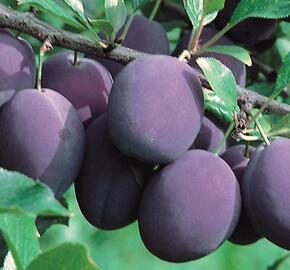 Švestka - středně raná 'Valjevka' - Prunus domestica 'Valjevka'