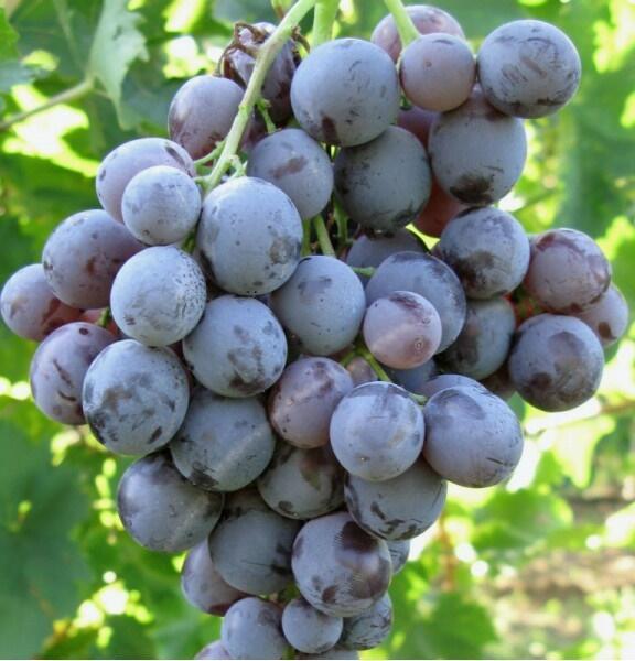 Réva vinná 'Moscato d' Amburgo' - Vitis vinifera 'Moscato d' Amburgo'
